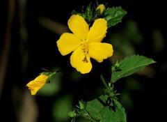 Malva del bosque/Pavonia sepium