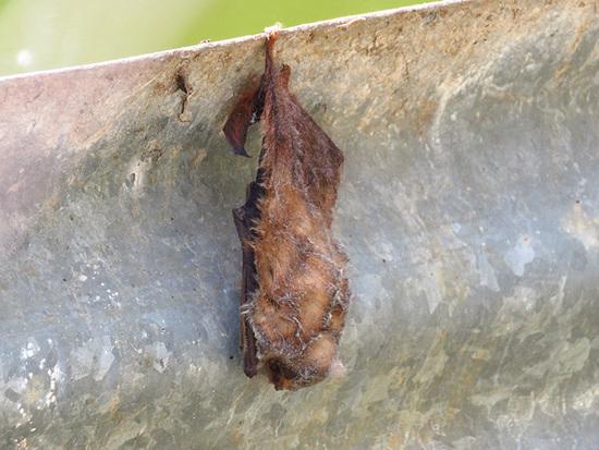Murciélago escarchado chico/Hoary bat