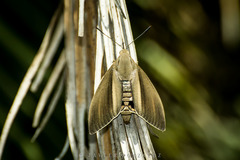Taladro de la palmera/South American Palm borer