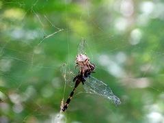 Parawixia/Wasp spider