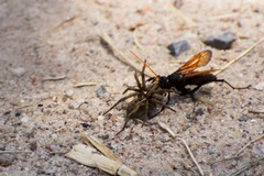 Avispa cazadora de araña/Spider wasp