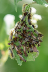 Orugas perezosa/Lazy caterpillars