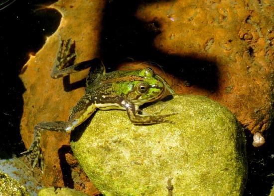 Ranita acuática común/Lesser swimming frog