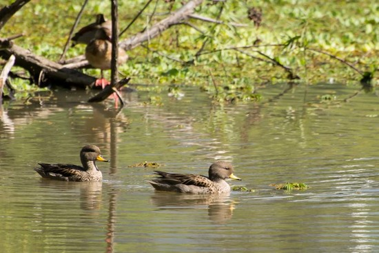 Yellow-billed Teal