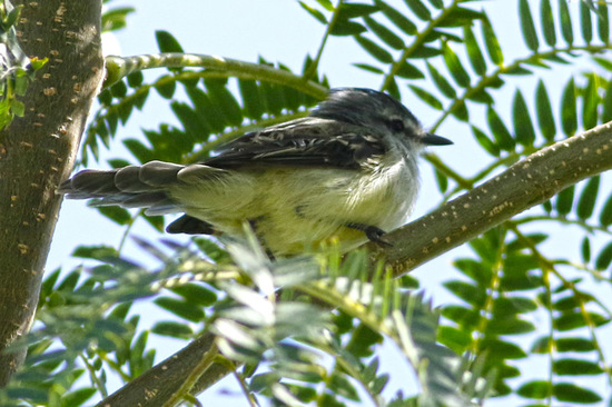 White-crested Tyrannulet