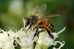 Abeja común/Honey bee