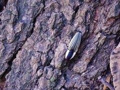 Escarabajo clic/Click beetle
