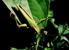 Langosta/Coryacris angustipennis