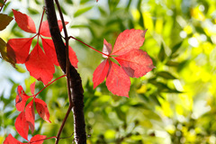 Enredadera de Virgina/Virginia creeper