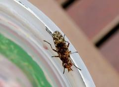 Mosca de pantano/Marsh fly