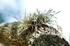Gallinita/Ball moss