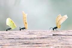 Hormiga cortadora de hojas/Acromyrmex lundii
