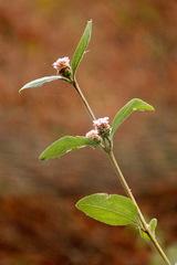 Salvia del campo/Lippia alba