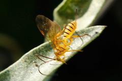 Avispa icneumónide/Ichneumon wasp