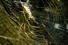 Araña de la seda de oro/Nephila clavipes