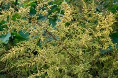 Paico/Chenopodium