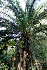 Palmera canaria/Canary Islanda date palm