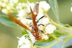 Aispa roja/Polistes sp