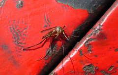 Mosquito gigante/Gallinipper