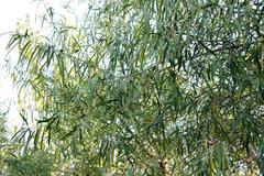 Sauce criollo/Salix humboldtiana