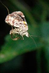 Scordylia quadruplicaria