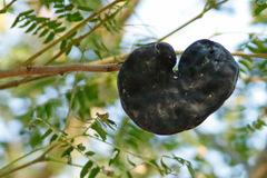 Timbó/Pacará earpod tree