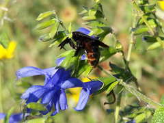 Abeja carpintera/Carpenter bee