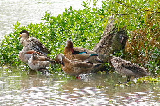 Ringed Teal