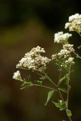 Doctorcito/Austroeupatorium inulifolium
