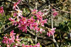 Palo borracho/Silkfloss tree