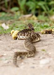Yarará grande/Urutu pit viper