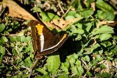 Zafiro común/Laurentia Emperor