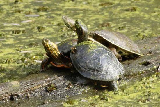 Tortugas/Turtles