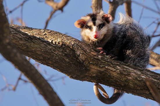 Comadreja overa/White-eared Opossum