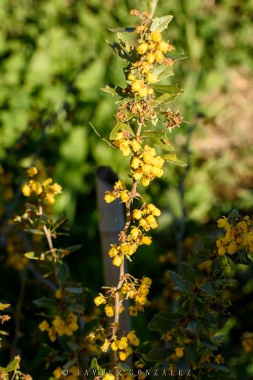 Espina amarilla/Berberis ruscifolia