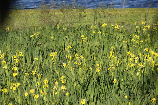 Lirio amarillo/Water yellow flag