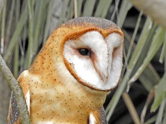 Lechuza de campanario/Barn Owl