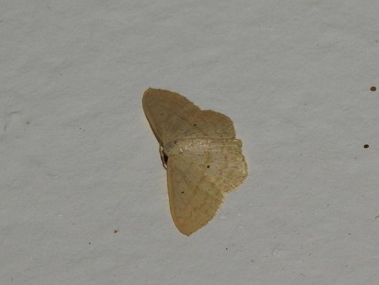Familia Geometridae