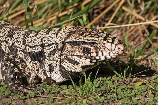Lagarto overo/Black-and-white Tegu Lizard