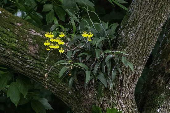 Orquídea patito/Orchid