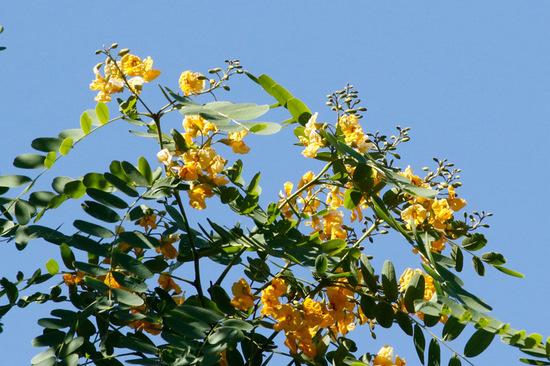 Tipa/Tipu tree