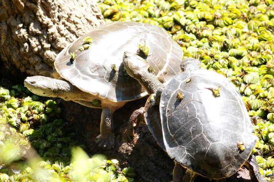 Tortuga de laguna/Side-necked turtle