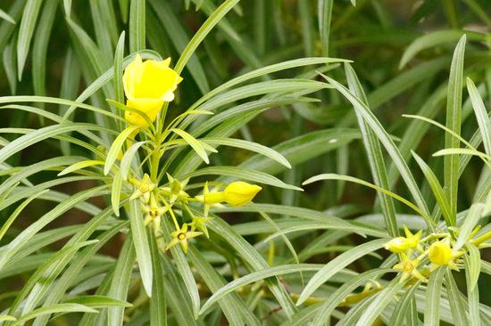 Adelfa amarilla/Yellow oleander