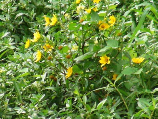 Flechilla/Larger bur-marigold