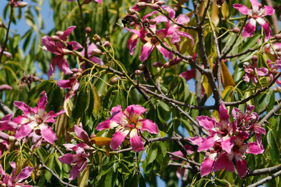 Palo borracho/Silk floss tree