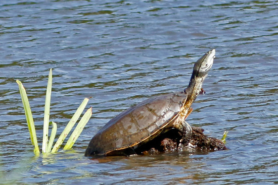 Tortuga de laguna/Side-necked side