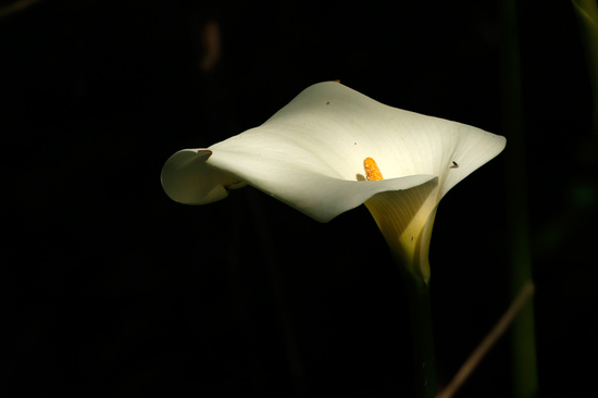 Cala/Calla lilly