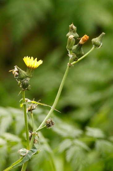 Cerraja/Sow thistle