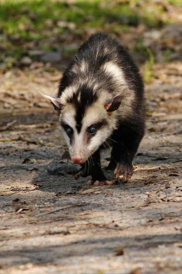 Comadreja overa/White-eared opposum