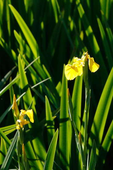 Lirio amarillo/Water yellow flag